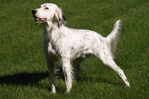 I migliori cani da caccia for Setter carattere